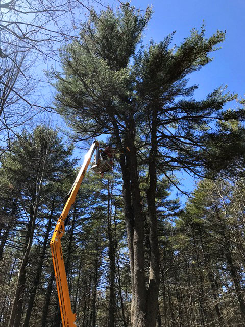Topsham, Maine - White Pine Removals