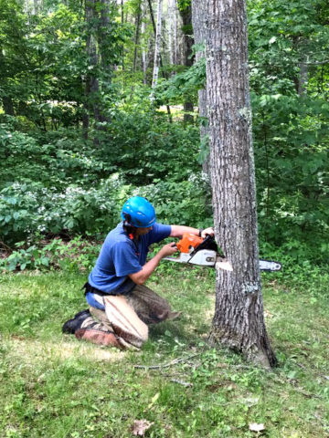 Harpswell, Maine - Oak Removal