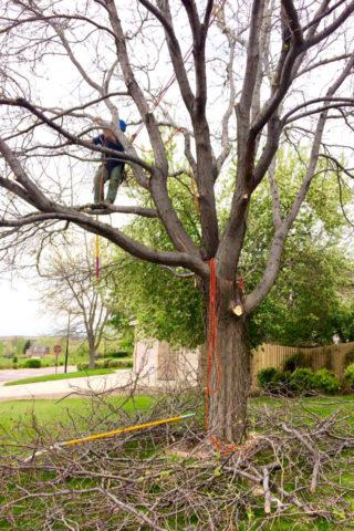 locust-tree-640x960